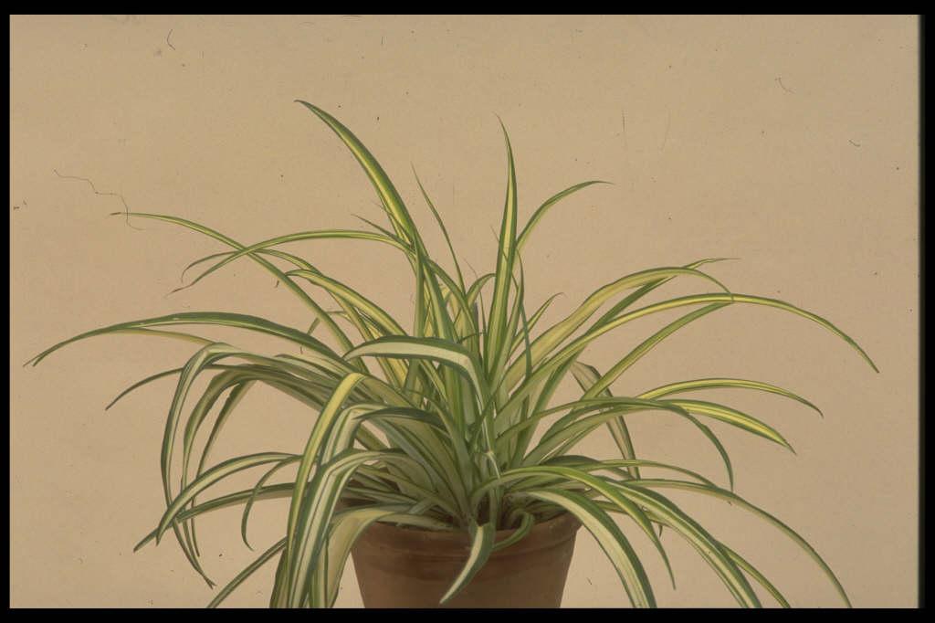 spider ivy 'Vittatum'