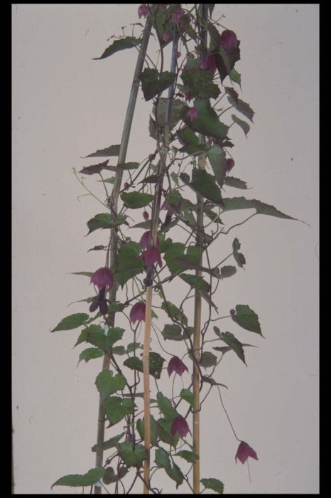 purple bell vine