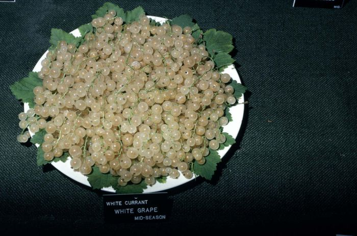 whitecurrant 'White Grape'