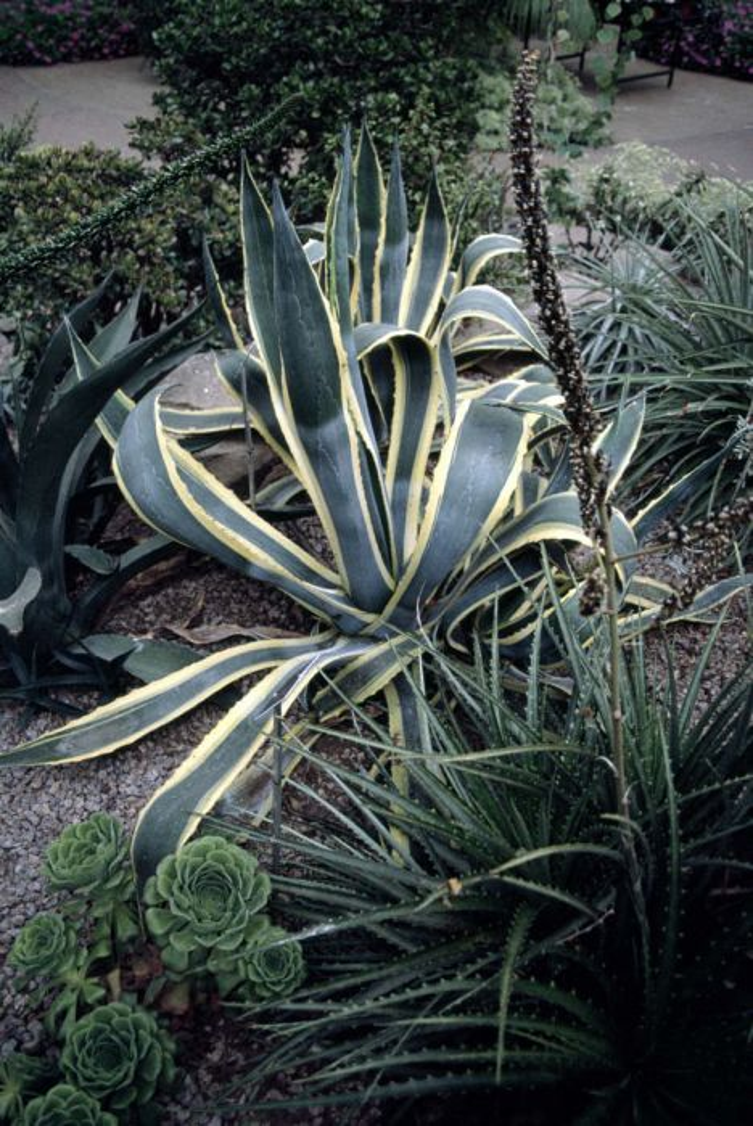 century plant 'Variegata'