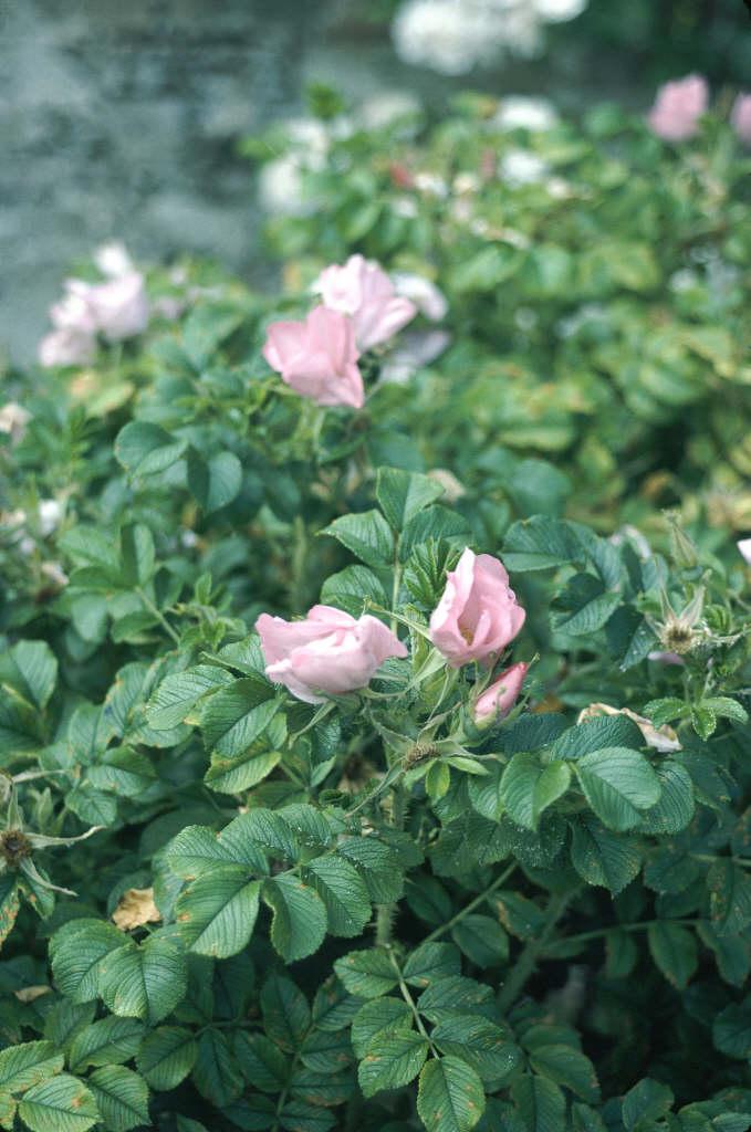 rose 'Fru Dagmar Hastrup'