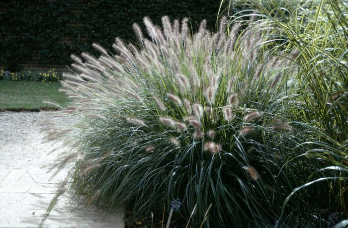 Chinese fountain grass 'Woodside'