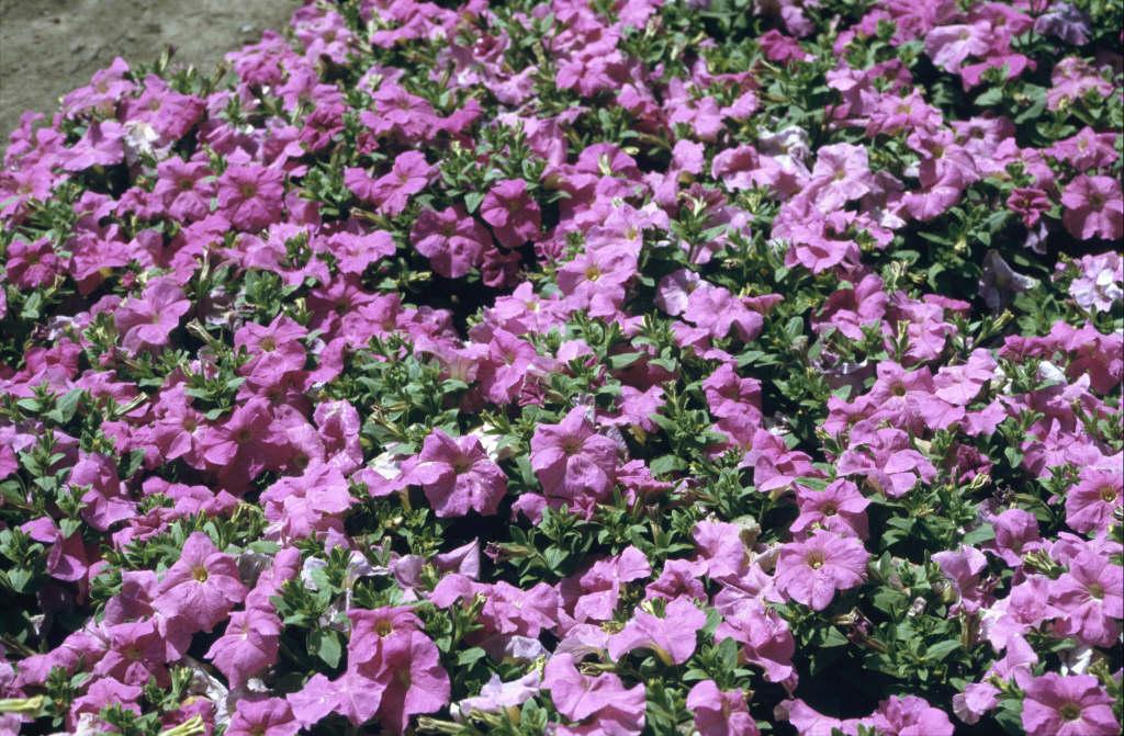 petunia 'Storm Lavender'