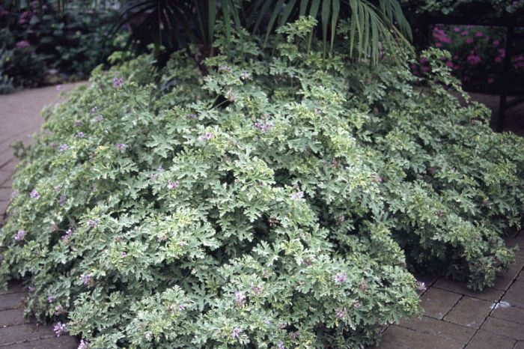 pelargonium 'Lady Plymouth'