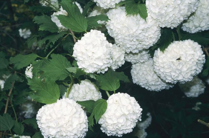 viburnum opulus 39 roseum 39 snowball rhs gardening. Black Bedroom Furniture Sets. Home Design Ideas