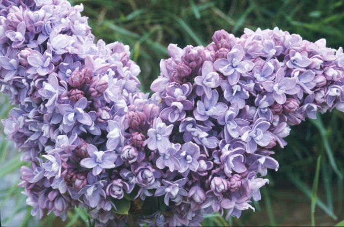 lilac 'Katherine Havemeyer'
