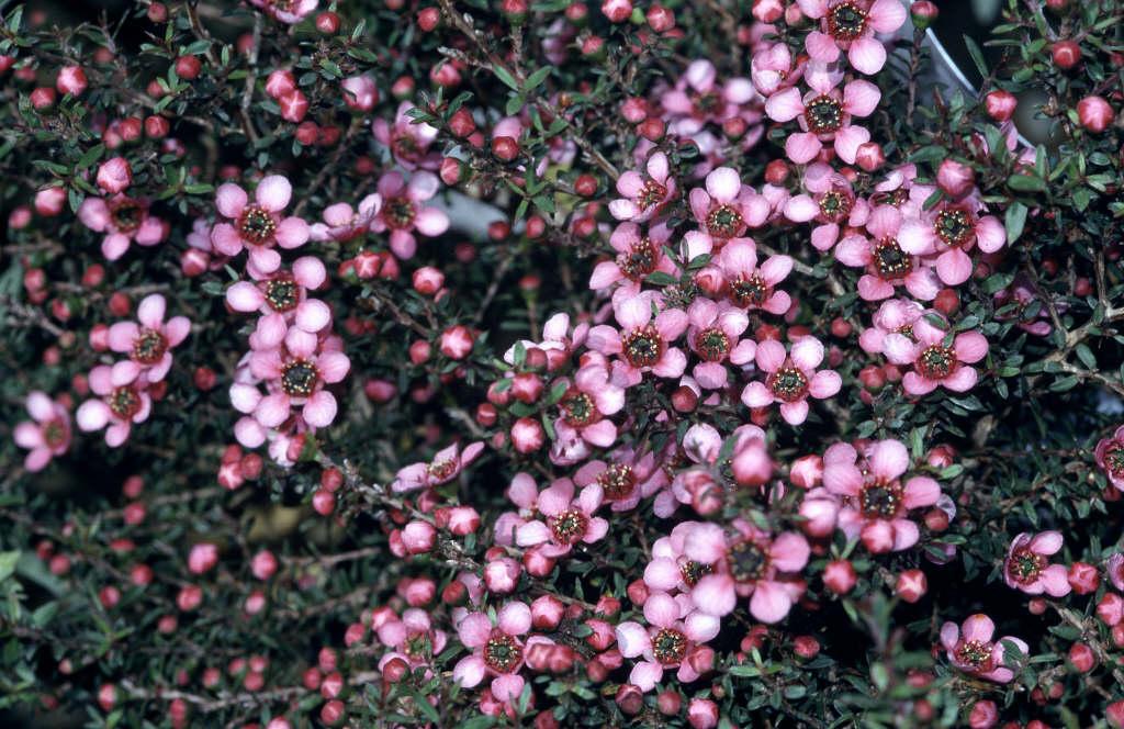 tea tree 'Kiwi'