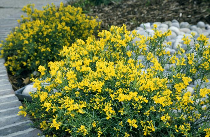 Lydian broom