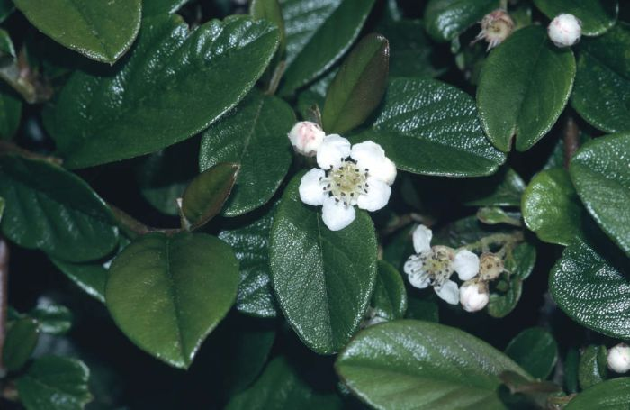 bearberry cotoneaster