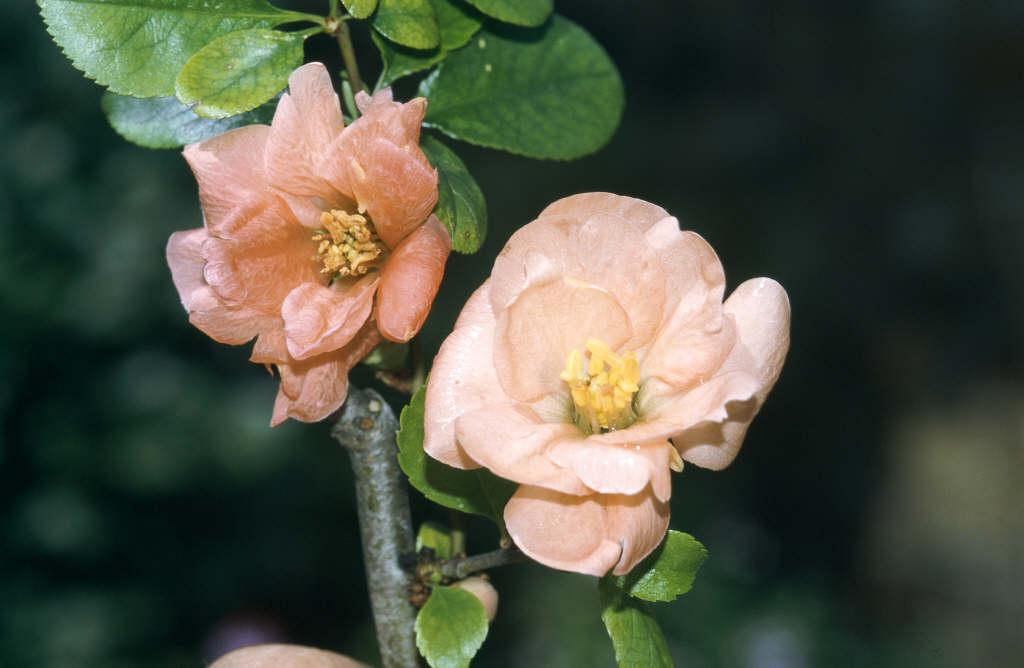 Japanese quince 'Geisha Girl'