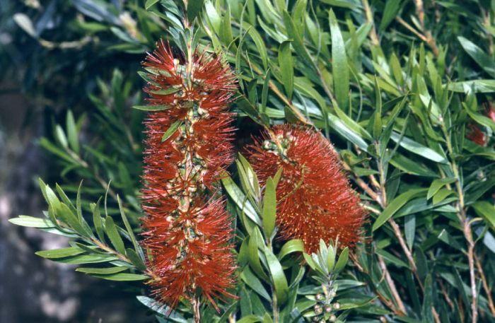 crimson bottlebrush 'Splendens'