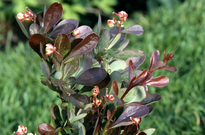 Japanese barberry 'Atropurpurea Nana'