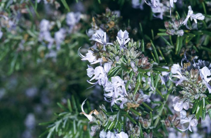 rosemary Prostratus Group