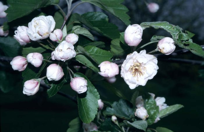 American crab apple 'Charlottae'