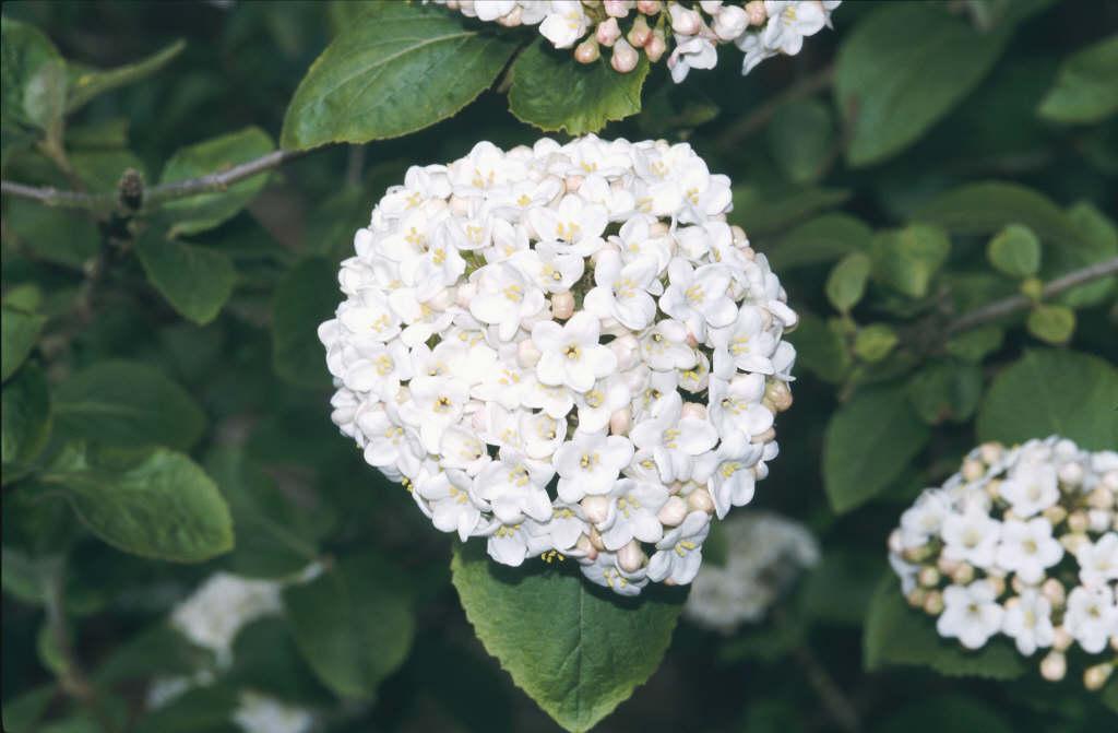 fragrant snowball