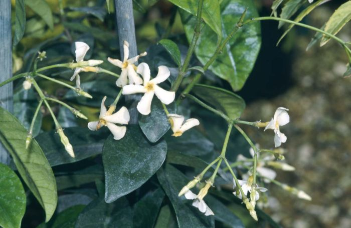 trachelospermum jasminoides confederate jasmine rhs gardening. Black Bedroom Furniture Sets. Home Design Ideas