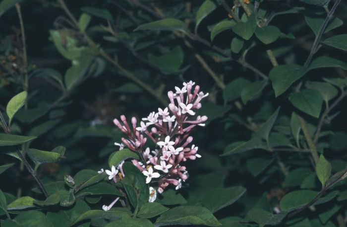 very little leaf lilac