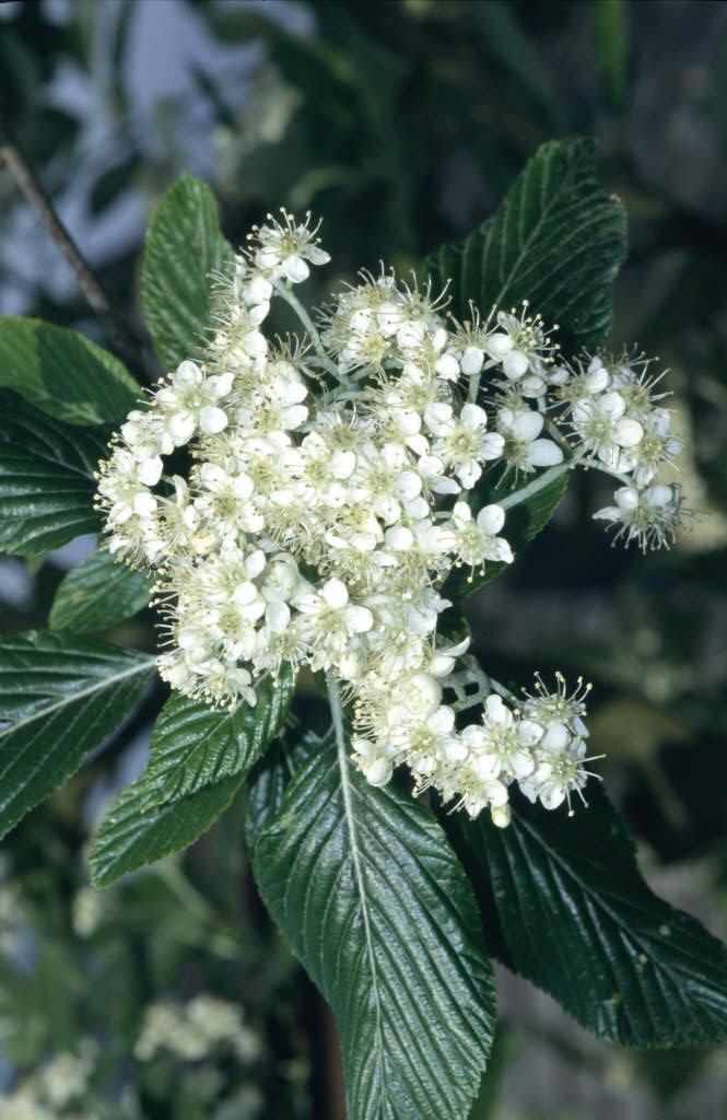 whitebeam 'Lutescens'