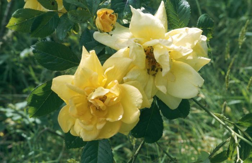 rose 'Maigold'