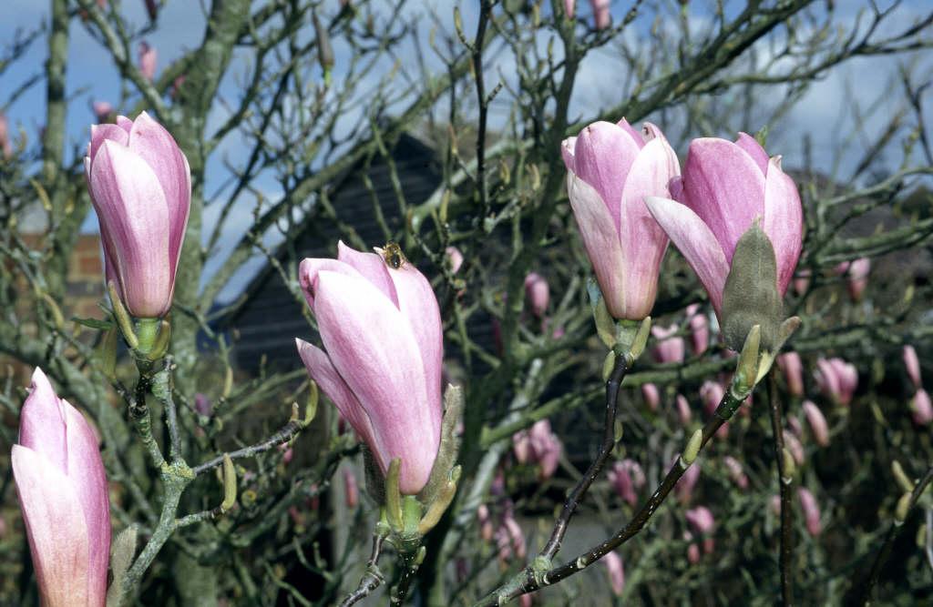 Magnolia Heaven Scent Magnolia Heaven Scentrhs Gardening