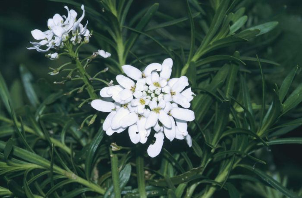 Iberis sempervirens perennial candytuft rhs gardening for Iberis sempervirens