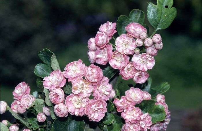 double pink hawthorn