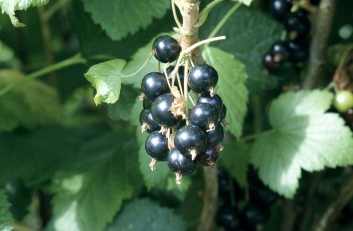 blackcurrant 'Ben Lomond'