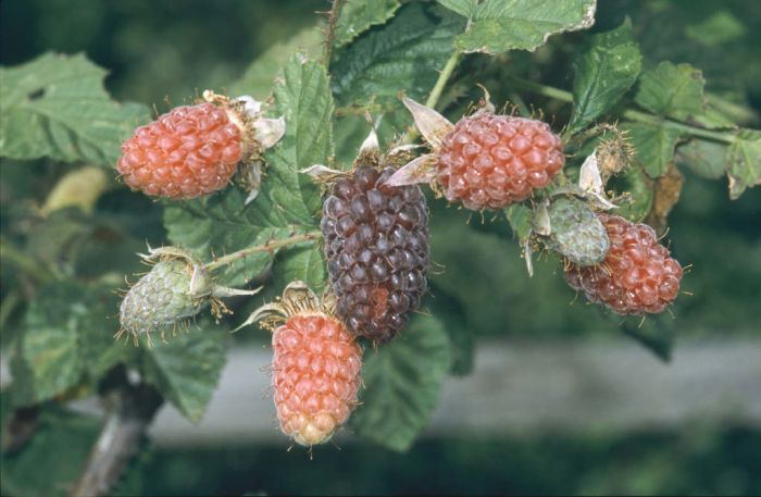 loganberry 'Ly 59'
