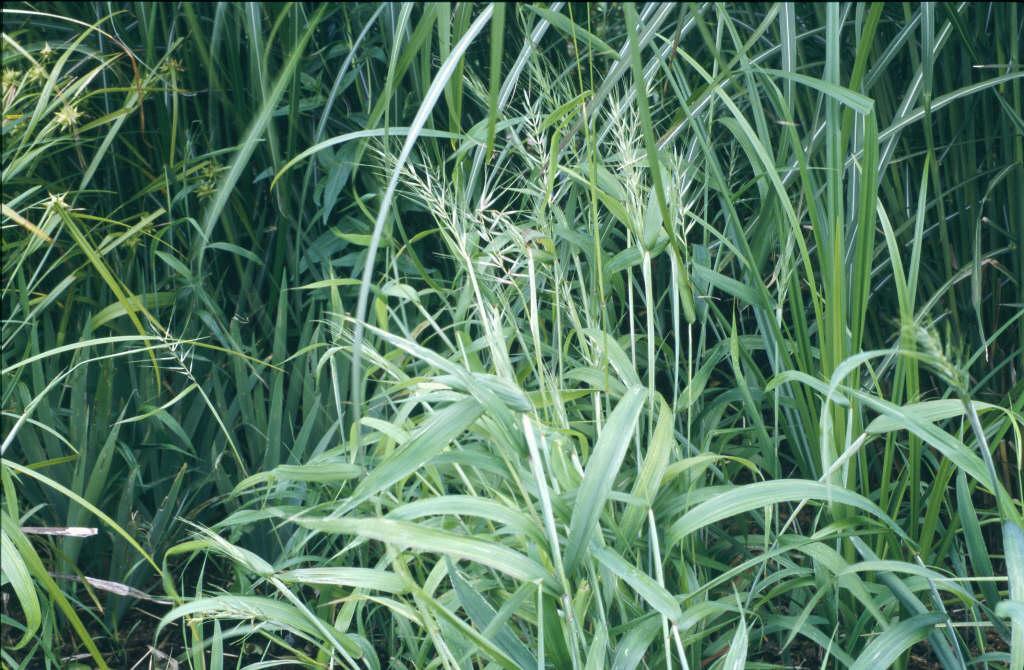 spreading bottlebrush grass