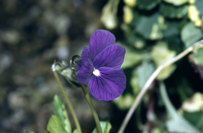 viola 'Huntercombe Purple'