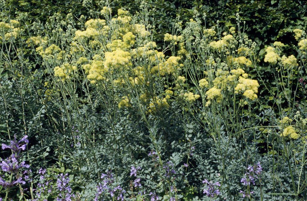Thalictrum flavum subsp glaucum glaucous leaved yellow for Thalictrum rochebrunianum rhs