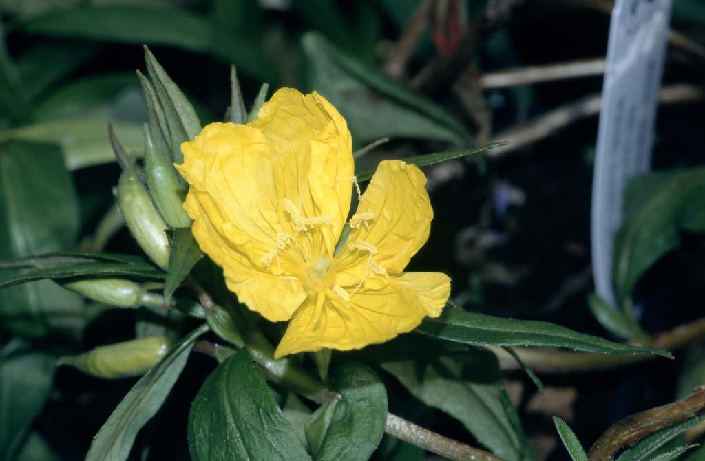 evening primrose 'Fyrverkeri'