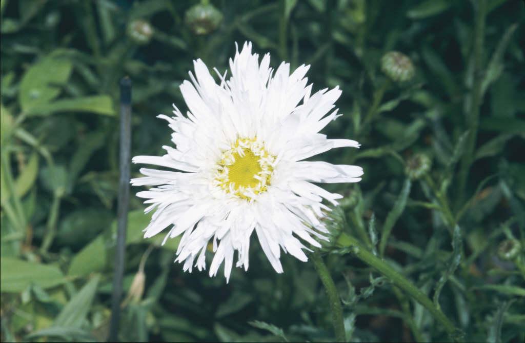 Shasta daisy 'Aglaia'