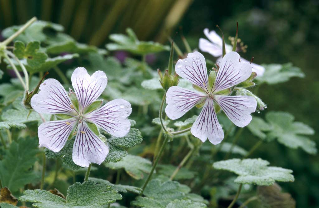 Renard geranium