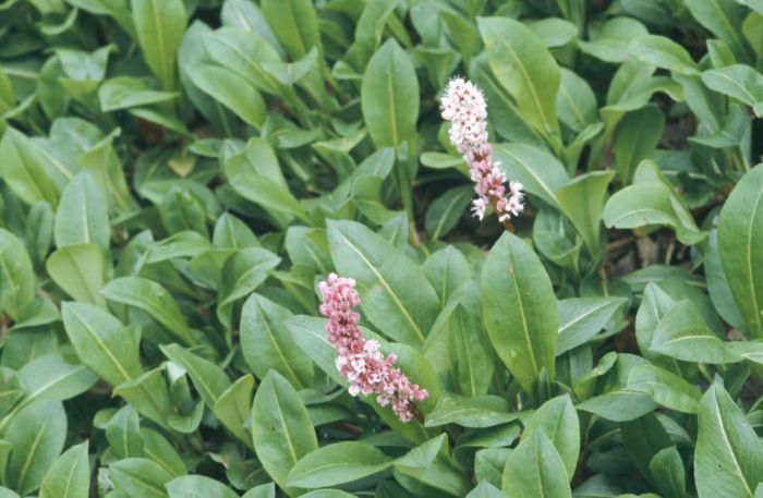 knotweed 'Superba'