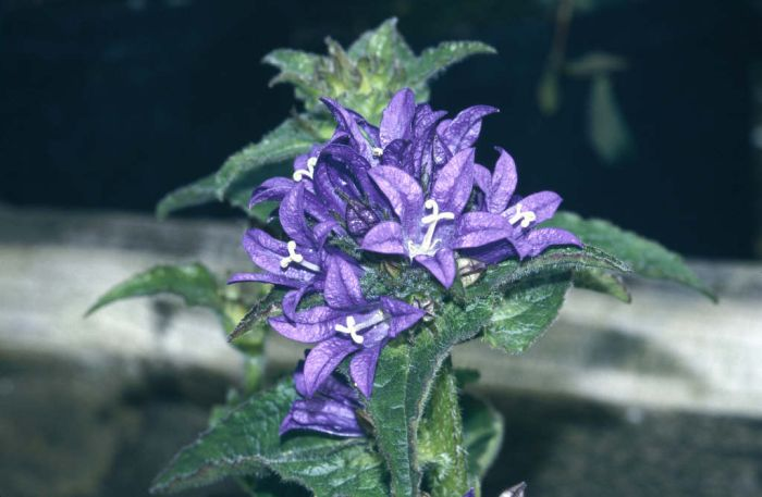 clustered bellflower 'Superba'