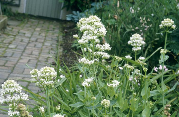 red valerian (white form)