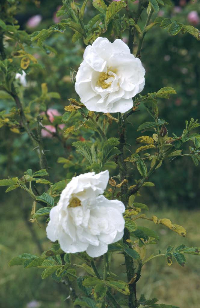 rose 'Schneezwerg'