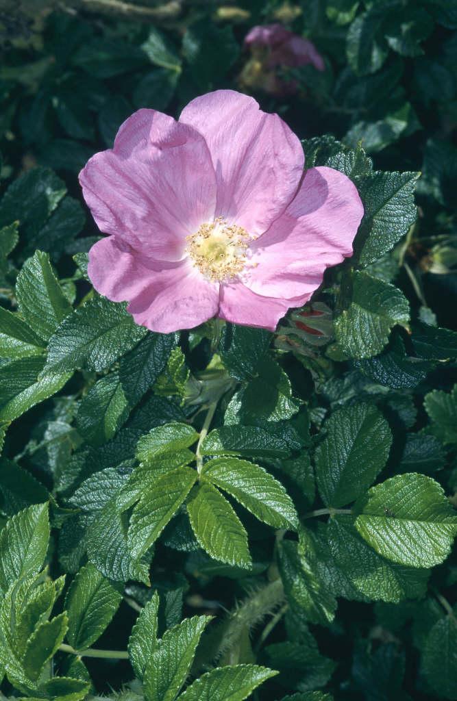 rose 'Scabrosa'