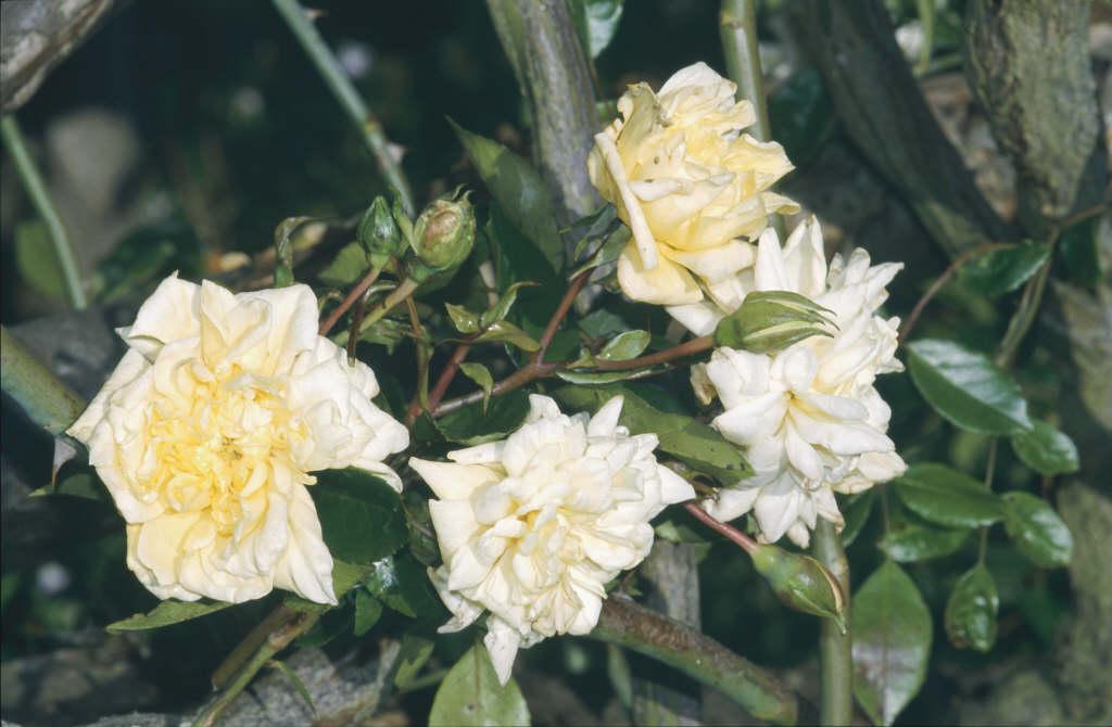 rose 'Albéric Barbier'