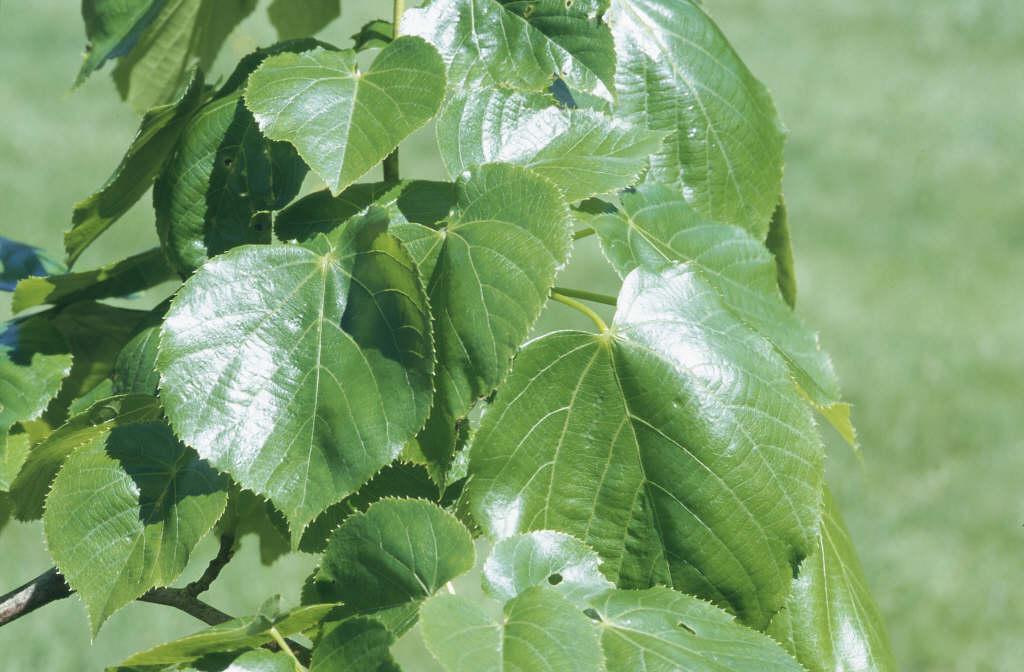 Caucasian lime