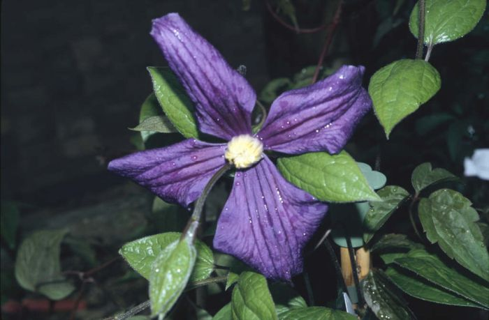 Durand's clematis