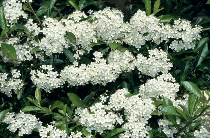 Pyracantha rogersiana asian firethornrhs gardening asian firethorn mightylinksfo