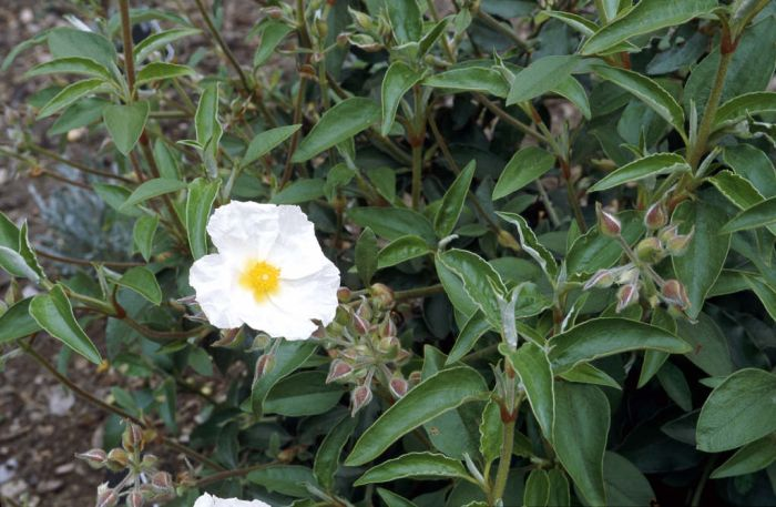 laurel-leaved rock rose
