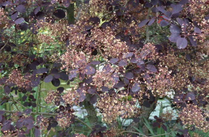 smoke tree 'Royal Purple'