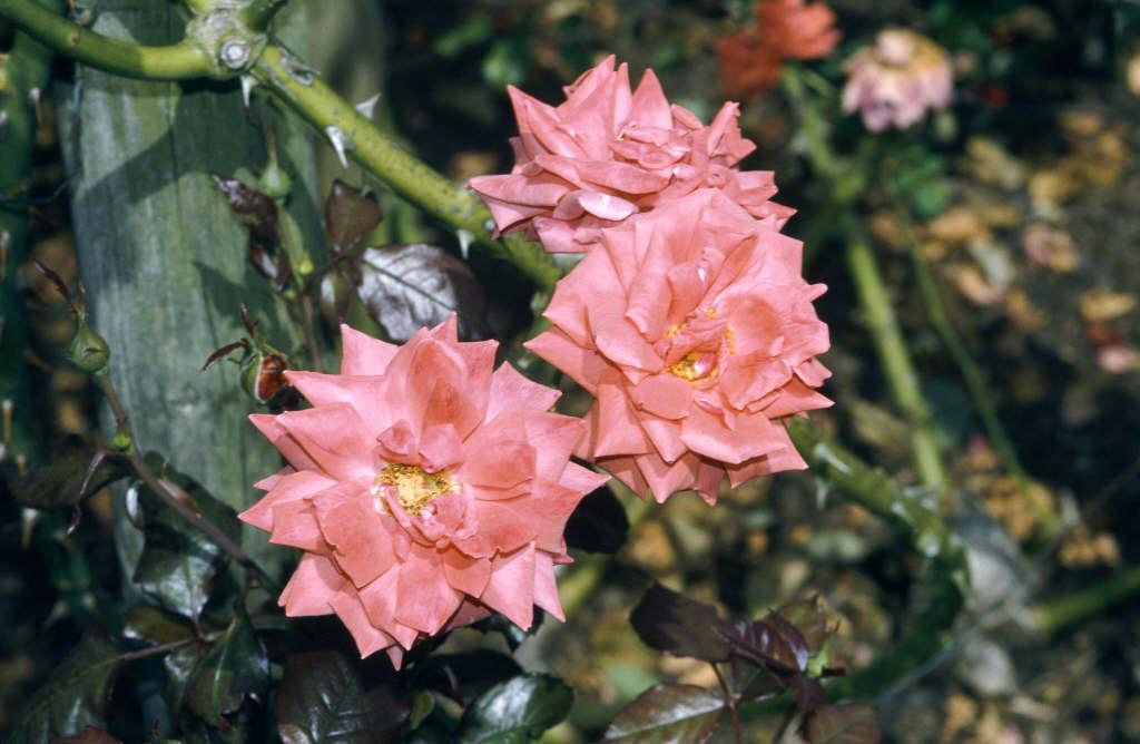 rose 'Danse du Feu'