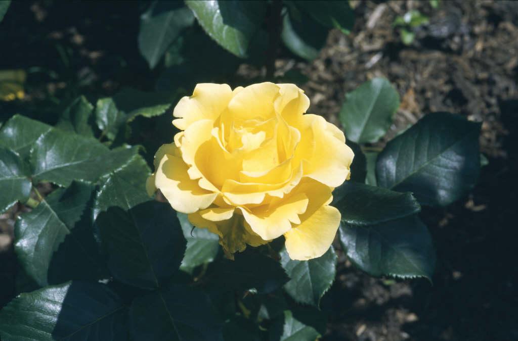 rose [Freedom]