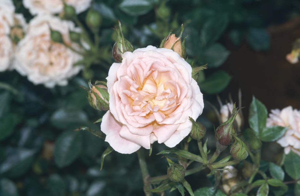 rose [Sweet Dream]
