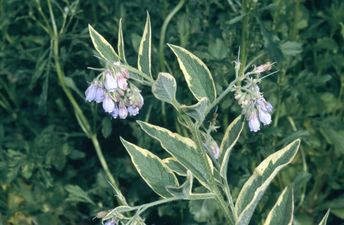 variegated Russian comfrey