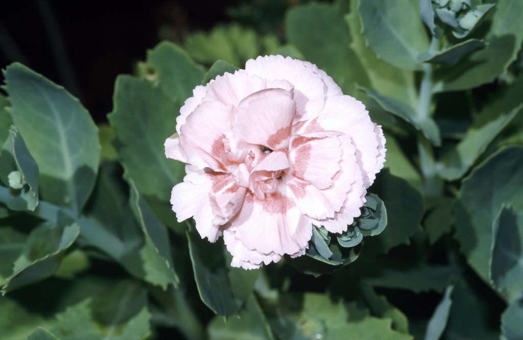 pink 'Doris'